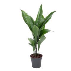 Kwartjesplant (Aspidistra elatior)