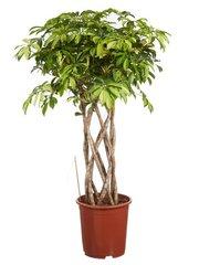 Vingersboom (Schefflera actinophylla)