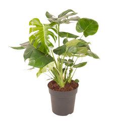 Gatenplant (Monstera deliciosa)