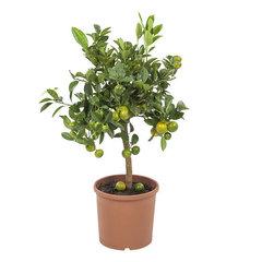 Kamersinasappel (citrus microcarpa Calamondin)