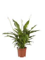 Lepelplant (Spathiphyllum Vivaldi)