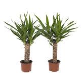 2x Palmlelie Yucca - Hoogte: 40 cm_