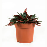 2x Peperomia - Hoogte: 18 cm - Peperomia rosso - Luchzuiverend_