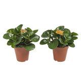 2x Obtusifolia - Hoogte: 28 cm - Peperomia Obtusifolia - luchtzuiverend_