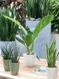 2 x Anthurium Jungle King - Hoogte: 60 cm - Met Fair Flora label: eerlijk en duurzaam_