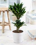2 x Drakenboom - Hoogte: 60 cm - Dracaena deremensis Compacta - luchtzuiverend_