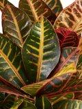 Croton Petra - Hoogte: 100cm_