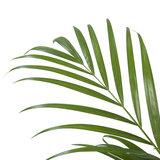 Goudpalm - Hoogte: 90cm - Areca / Dypsis Palm_