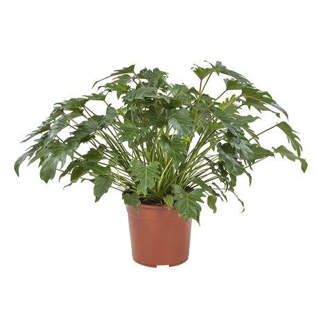 Philodendron Xanadu - Hoogte: 70 cm