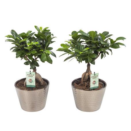2x Ficus Gin Seng in Wyberline keramiek gouden - Hoogte: 45 cm