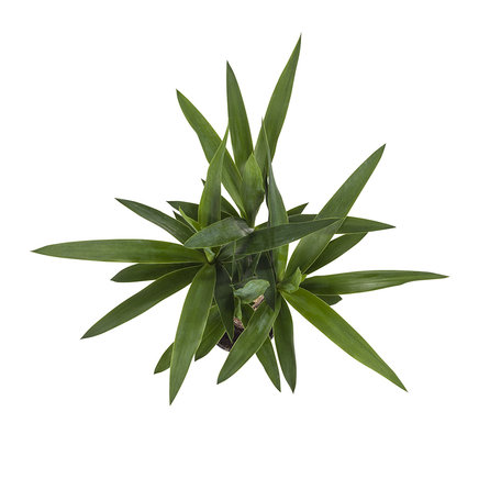 2x Palmlelie Yucca - Hoogte: 40 cm