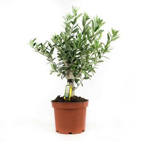 Olijfboom - Hoogte: 35 cm - Olea europeae