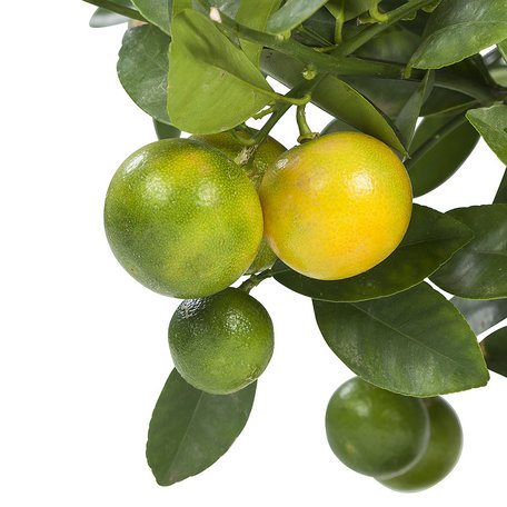 kamersinasappel Calamondin - Hoogte: 75 cm - Citrus Microcarpa