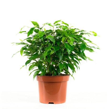 2x Green kinky - Hoogte: 28 cm - Ficus benjamina