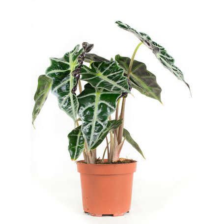 3x Skeletplant - Hoogte: 30 cm - Alocasia Polly