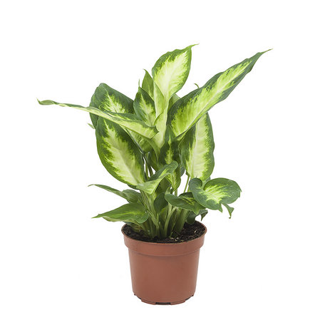 4x Dieffenbachia Camilla - Hoogte: 30 cm - Luchtzuiverend