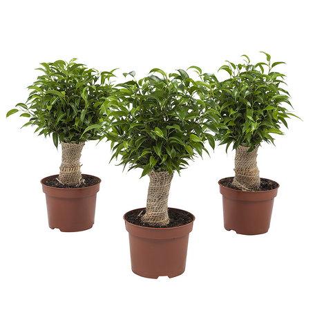 3x Ficus Natasja - Hoogte: 35 cm - Ficus benjamina Natasja Jute