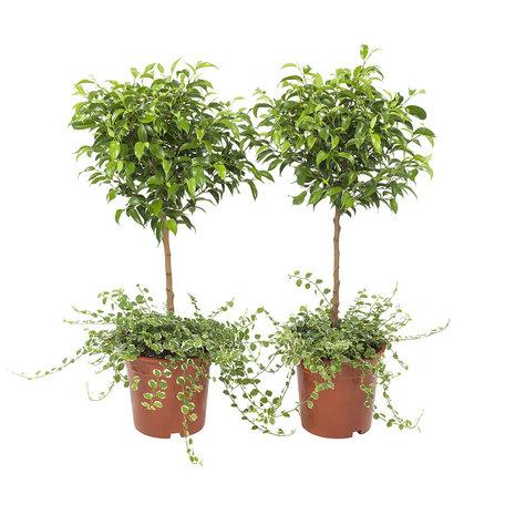 2x kruipende ficus - Hoogte: 65 cm - Ficus Pumila