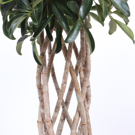 Vingersboom - Hoogte: 100 cm - Schefflera Arboricola compacta