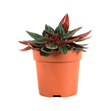 2x Peperomia - Hoogte: 18 cm - Peperomia rosso - Luchzuiverend