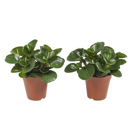 2x Obtusifolia - Hoogte: 28 cm - Peperomia Obtusifolia - luchtzuiverend