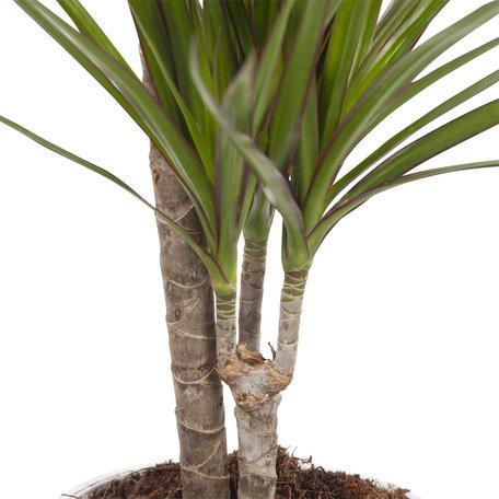 2x Drakenbloedboom - Hoogte: 75 cm - Dracaena Marginata - 2 takken