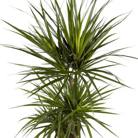 Drakenbloedboom - Hoogte: 105 cm - Dracaena Marginata - 3 takken - luchtzuiverend