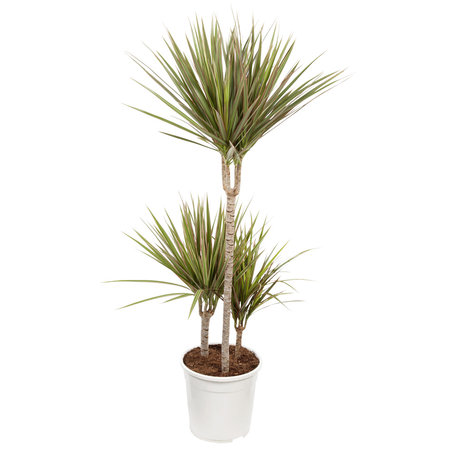 Drakenbloedboom - Hoogte: 105cm - Dracaena 'Bicolour'