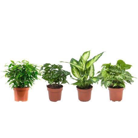 4x Plantenset - Hoogte: 25 cm - Dieffenbachia Camilla, Coffea Arabica, Syngonium Podophyllum, Ficus benjamina