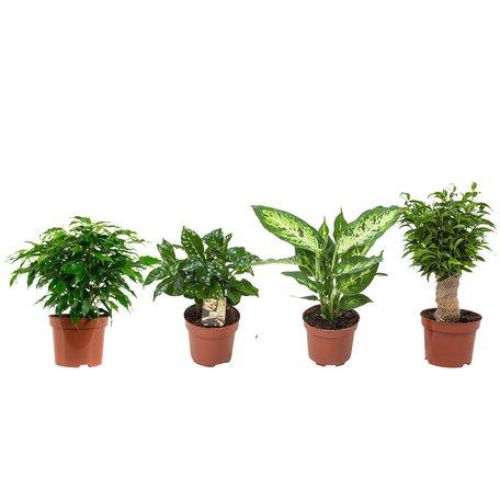 4x Plantenset - Hoogte: 25 cm - Ficus Green Kinky, Coffea Arabica,Dieffenbachia Compacta , Ficus Natasja