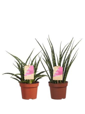 2x Vrouwentong - Hoogte: 40 cm - sansevieria Fernwood duo - luchtzuiverend