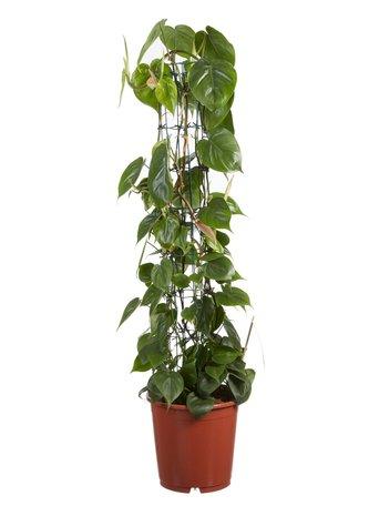 Heartleaf Philodendron scandens - Hoogte: 120 cm - Luchtzuiverend - Met Fair Flora label