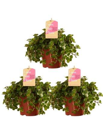 3x Vetkruid - Hoogte: 15 cm - Sedum makinoi - Met Fair Flora label
