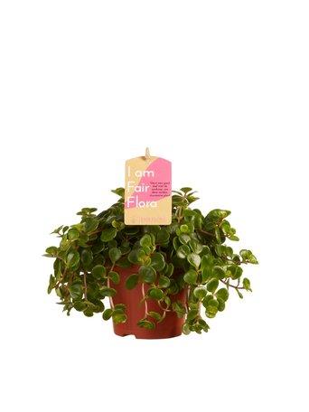 Vetkruid - Hoogte: 15 cm - Sedum makinoi - Met Fair Flora label
