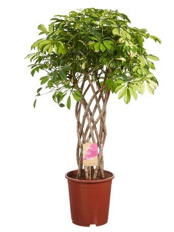 Vingersboom - Hoogte: 110 - Schefflera Trinette - Met Fair Flora label