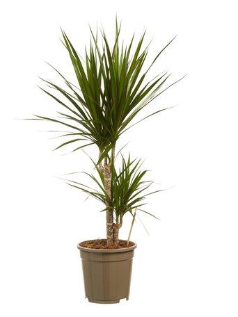 2x Drakenboom - 2 stammen - Hoogte: 80 cm - Dracaena Marginata - luchtzuiverend