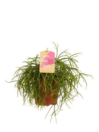 3x biescactus - Rhipsalis cashero - hangplant - Met Fair Flora label