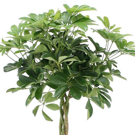 Vingersboom - Hoogte: 80 cm - Schefflera Arboricola Nora - luchtzuiverend