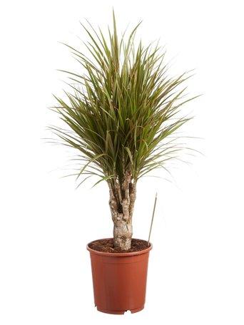 Drakenbloedboom - Hoogte: 100 cm - Dracaena Marginata bicolour - luchtzuiverend