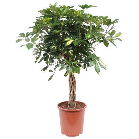 Vingersboom - Hoogte: 80 cm - Schefflera Arboricola Gold Capella - luchtzuiverend