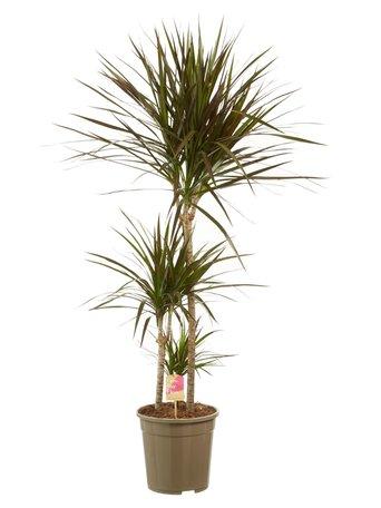 Drakenbloedboom - Hoogte: 125 cm - Dracaena Margenta - luchtzuiverend - Mooie hoge plant met drie stammen.
