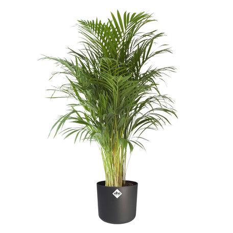 Goudpalm - Hoogte: 125 cm - in antraciete ® ELHO b.for soft sierpot - Areca Dypsis