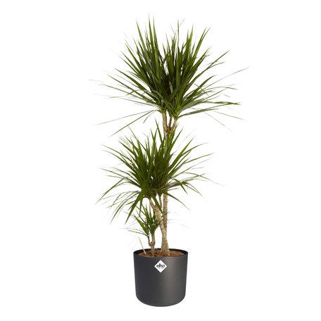 Drakenbloedboom - Hoogte: 125 cm - Dracaena Marginata in ELHO b.for soft sierpot