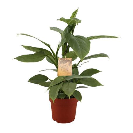 Silver Sword - Hoogte: 40 cm - Philodendron Hastatum
