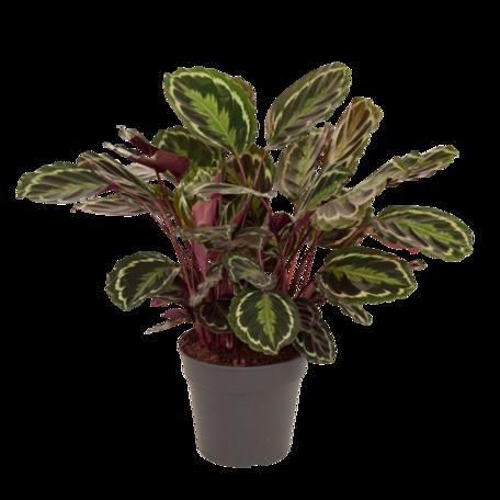 Calathea Medaillon - Hoogte: 80 cm - s'Avonds keren de bladeren zich naar binnen