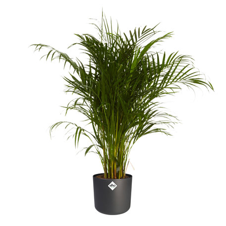 Goudpalm in ®ELHO b.for soft sierpot - Hoogte: 125 cm - Dypsis Lutescens