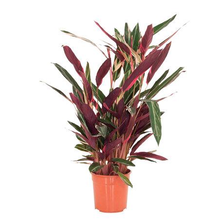 Calathea Triostar - Hoogte: 80 cm - Calathea Stromanthea Stromanthe Triostar