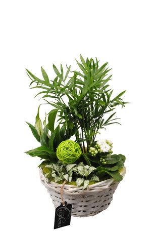 Arrangement Basic creatie in mand groen - Hoogte: 35 cm - Chamaedoria, Spathiphyllum, Fittonia en een Kalanchoe