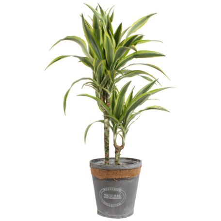 Drakenbloedboom 'lemon lime' met in grijze chipwood pot - Hoogte: 65 cm - Dracaena dermensis Citroenlinde