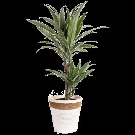 Drakenbloedboom - Hoogte: 70 cm - Dracaena dermensis Warneckei. in witte chipwood pot